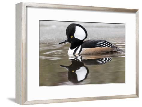 A Male Hooded Merganser Duck, Lophodytes Cucullatus, Swimming in Icy Water-Robbie George-Framed Art Print