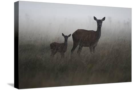 An Alert Red Deer Doe, Cervus Elaphus, and Her Fawn in Fog-Bertie Gregory-Stretched Canvas Print
