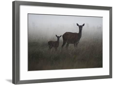 An Alert Red Deer Doe, Cervus Elaphus, and Her Fawn in Fog-Bertie Gregory-Framed Art Print