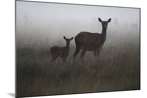 An Alert Red Deer Doe, Cervus Elaphus, and Her Fawn in Fog-Bertie Gregory-Mounted Photographic Print