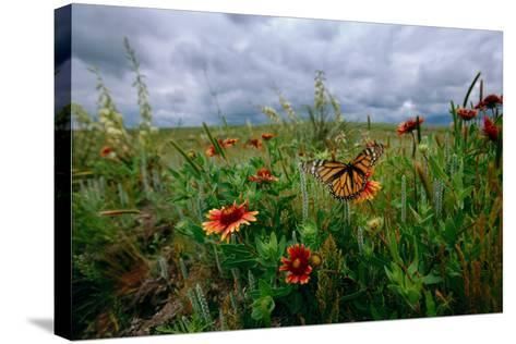 A Monarch Butterfly Lands on Wildflowers-Michael Forsberg-Stretched Canvas Print