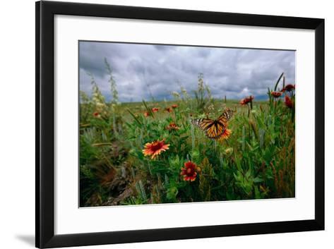 A Monarch Butterfly Lands on Wildflowers-Michael Forsberg-Framed Art Print