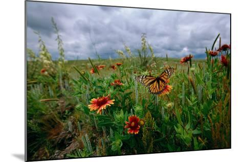A Monarch Butterfly Lands on Wildflowers-Michael Forsberg-Mounted Photographic Print