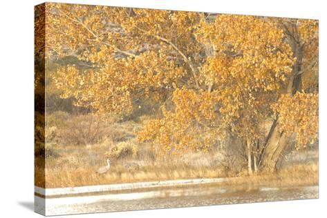 A Pair of Sandhill Cranes Walk under a Fall-Colored Tree on the Side of a Small Lake-Michael Forsberg-Stretched Canvas Print