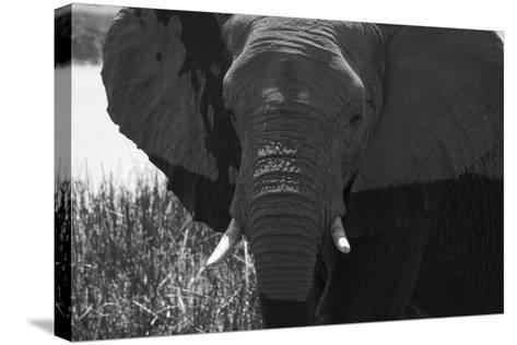 Close Up of an African Elephant's Face-Beverly Joubert-Stretched Canvas Print