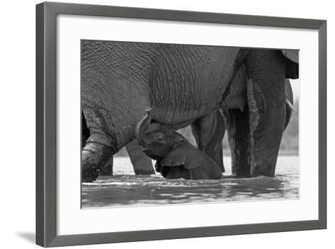 An African Elephant Calf Playing in the Water with its Herd-Beverly Joubert-Framed Art Print