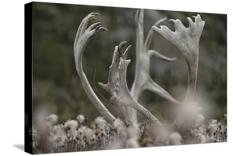 Antlers of a Male Woodland Caribou in a Field of Dryas-Peter Mather-Stretched Canvas Print