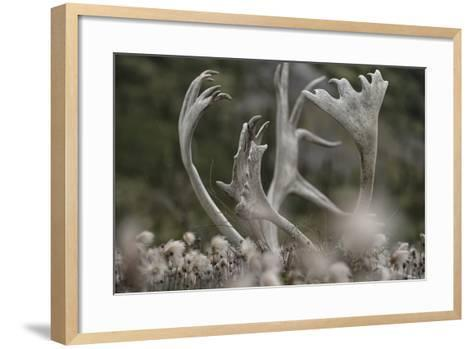 Antlers of a Male Woodland Caribou in a Field of Dryas-Peter Mather-Framed Art Print