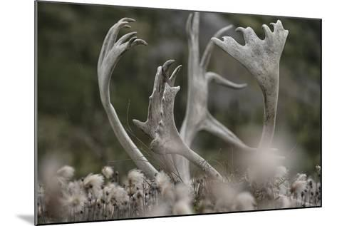 Antlers of a Male Woodland Caribou in a Field of Dryas-Peter Mather-Mounted Photographic Print