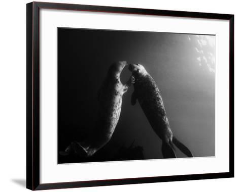 A Pair of Seals Swim in Waters Off the Farne Islands-Cesare Naldi-Framed Art Print