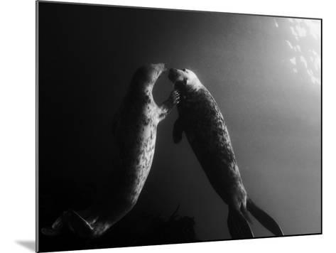 A Pair of Seals Swim in Waters Off the Farne Islands-Cesare Naldi-Mounted Photographic Print