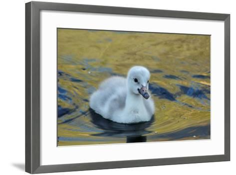 A Trumpeter Swan Cygnet in Water-Tom Murphy-Framed Art Print