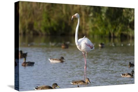 Portrait of a Greater Flamingo, Phoenicopterus Roseus, Standing Among Ducks in Water-Sergio Pitamitz-Stretched Canvas Print