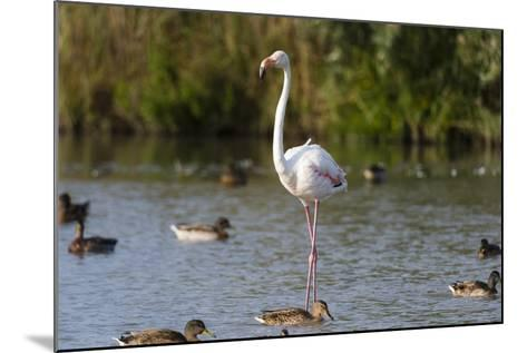 Portrait of a Greater Flamingo, Phoenicopterus Roseus, Standing Among Ducks in Water-Sergio Pitamitz-Mounted Photographic Print