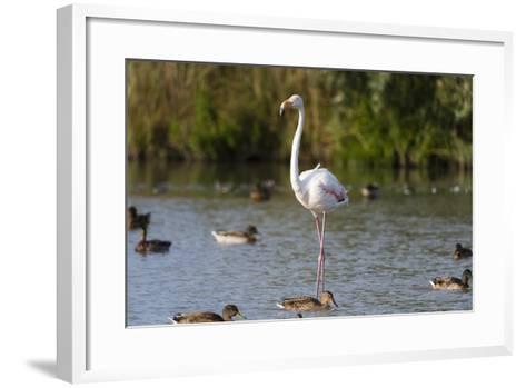 Portrait of a Greater Flamingo, Phoenicopterus Roseus, Standing Among Ducks in Water-Sergio Pitamitz-Framed Art Print
