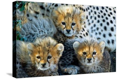Close-Up of Cheetah (Acinonyx Jubatus) Cubs, Ndutu, Ngorongoro Conservation Area, Tanzania--Stretched Canvas Print