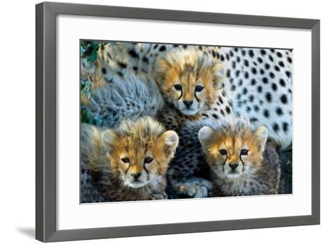 Close-Up of Cheetah (Acinonyx Jubatus) Cubs, Ndutu, Ngorongoro Conservation Area, Tanzania--Framed Art Print