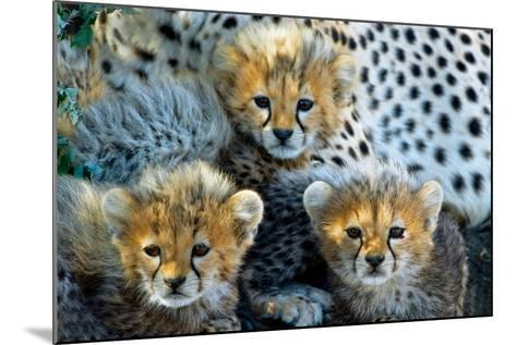 Close-Up of Cheetah (Acinonyx Jubatus) Cubs, Ndutu, Ngorongoro Conservation Area, Tanzania--Mounted Photographic Print