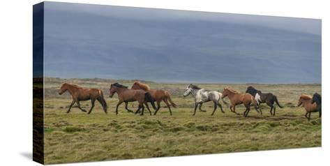 Horses Running in the Countryside, Iceland--Stretched Canvas Print