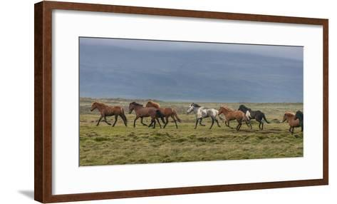 Horses Running in the Countryside, Iceland--Framed Art Print