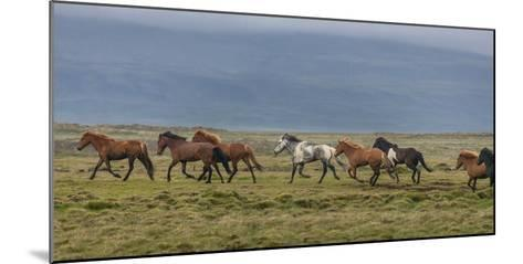 Horses Running in the Countryside, Iceland--Mounted Photographic Print