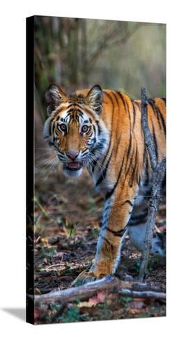 Bengal Tiger (Panthera Tigris Tigris), Bandhavgarh National Park, Umaria District--Stretched Canvas Print