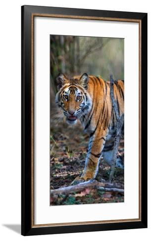 Bengal Tiger (Panthera Tigris Tigris), Bandhavgarh National Park, Umaria District--Framed Art Print