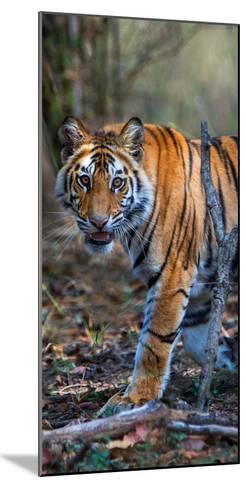 Bengal Tiger (Panthera Tigris Tigris), Bandhavgarh National Park, Umaria District--Mounted Photographic Print
