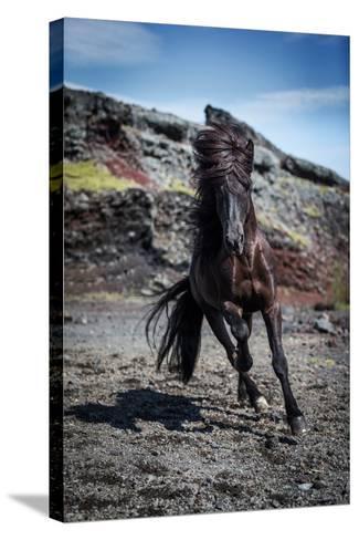 Icelandic Black Stallion, Iceland--Stretched Canvas Print