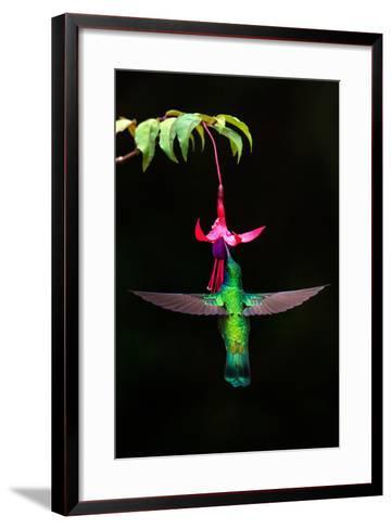 Green Violetear (Colibri Thalassinus) Feeding on a Flower, Savegre, Costa Rica--Framed Art Print