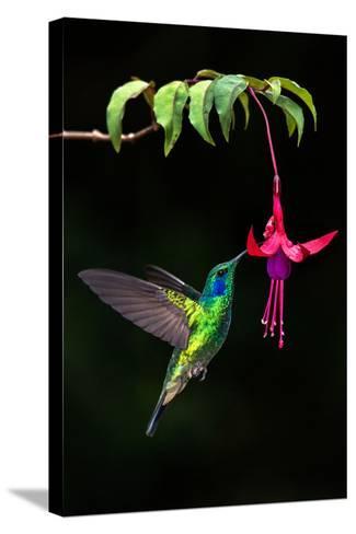 Green Violetear (Colibri Thalassinus) Feeding on a Flower, Savegre, Costa Rica--Stretched Canvas Print