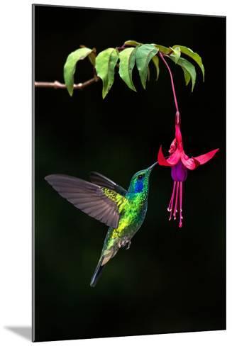 Green Violetear (Colibri Thalassinus) Feeding on a Flower, Savegre, Costa Rica--Mounted Photographic Print