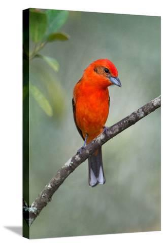 Flame-Colored Tanager (Piranga Bidentata), Sarapiqui, Costa Rica--Stretched Canvas Print