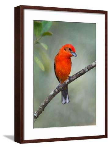 Flame-Colored Tanager (Piranga Bidentata), Sarapiqui, Costa Rica--Framed Art Print