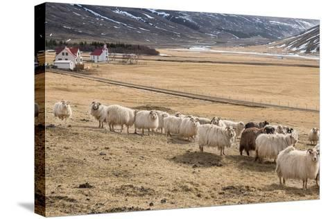 Flock of Sheep, Iceland--Stretched Canvas Print