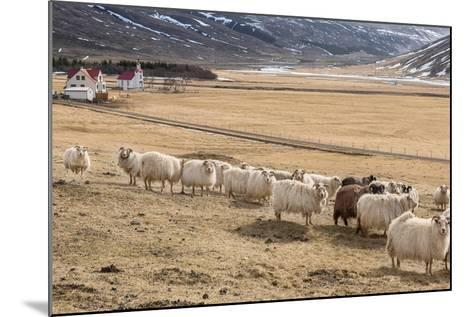 Flock of Sheep, Iceland--Mounted Photographic Print