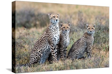 Cheetahs (Acinonyx Jubatus) in a Field, Ndutu, Ngorongoro Conservation Area, Tanzania--Stretched Canvas Print