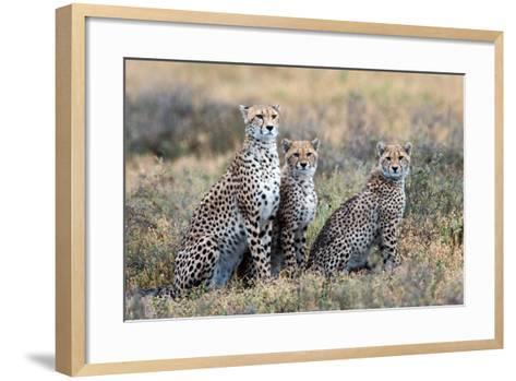 Cheetahs (Acinonyx Jubatus) in a Field, Ndutu, Ngorongoro Conservation Area, Tanzania--Framed Art Print