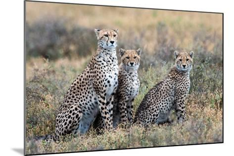 Cheetahs (Acinonyx Jubatus) in a Field, Ndutu, Ngorongoro Conservation Area, Tanzania--Mounted Photographic Print