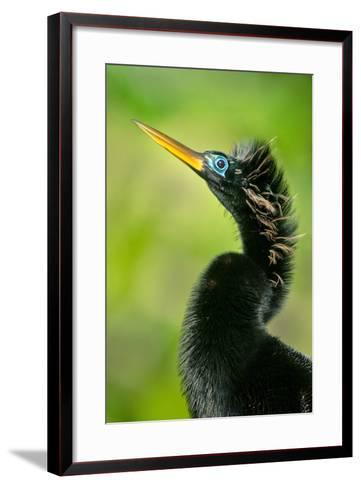 Anhinga (Anhinga Anhinga), Tortuguero, Costa Rica--Framed Art Print
