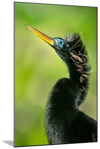 Anhinga (Anhinga Anhinga), Tortuguero, Costa Rica--Mounted Photographic Print
