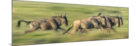 Wildebeests (Connochaetes Taurinus) Migration, Serengeti National Park, Tanzania--Mounted Photographic Print