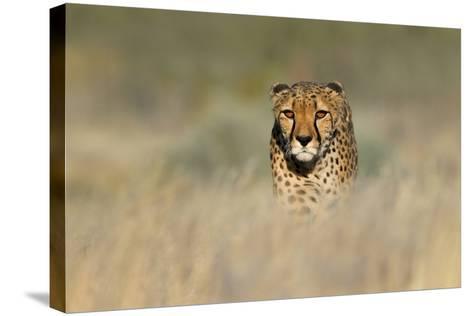Cheetah (Acinonyx Jubatus) in a Field, Etosha National Park, Namibia--Stretched Canvas Print