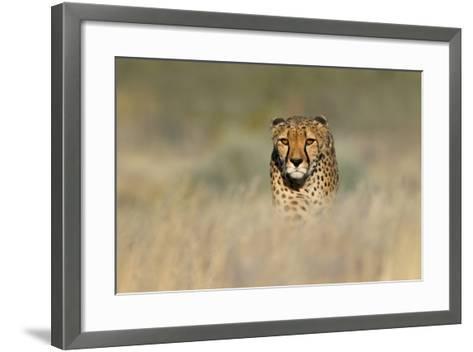 Cheetah (Acinonyx Jubatus) in a Field, Etosha National Park, Namibia--Framed Art Print