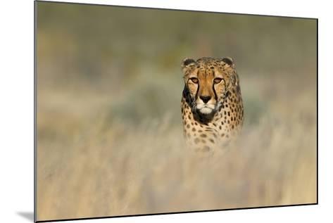 Cheetah (Acinonyx Jubatus) in a Field, Etosha National Park, Namibia--Mounted Photographic Print