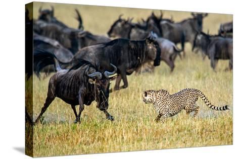 Cheetah (Acinonyx Jubatus) Chasing Wildebeests, Tanzania--Stretched Canvas Print
