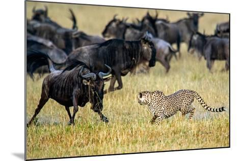 Cheetah (Acinonyx Jubatus) Chasing Wildebeests, Tanzania--Mounted Photographic Print