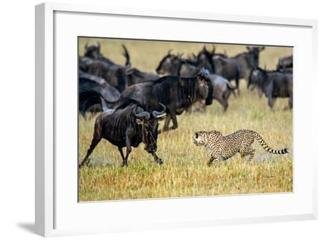 Cheetah (Acinonyx Jubatus) Chasing Wildebeests, Tanzania--Framed Art Print