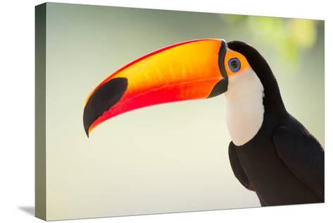 Toco Toucan (Ramphastos Toco), Pantanal Wetlands, Brazil--Stretched Canvas Print
