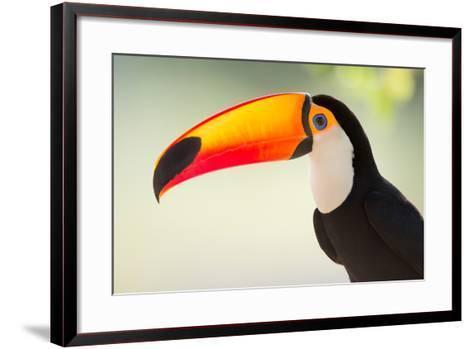 Toco Toucan (Ramphastos Toco), Pantanal Wetlands, Brazil--Framed Art Print